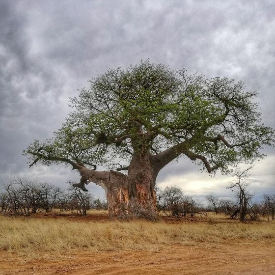 Albero del Baobab