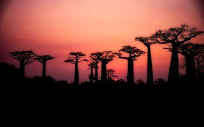 Frutto del Baobab: il frutto dell'albero gigante buono